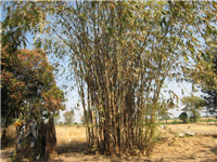 Bamboo-mature clump