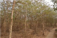 Communal woodlot- 6 year old native Acacia trees Malawi