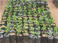 Fruit seedlings Malawi