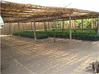Nursery with indigenous mahogany seedlings, Malawi