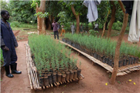 Platform with airpruned winter thorn seedlings