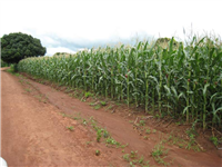 CA at maize maturity