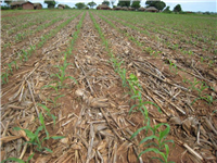 CA weed free maize at 2 weeks with crop residues