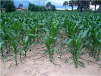 CA weed free maize crop on sandy soils