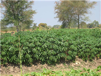 Cassava at maturity