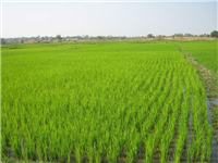 Irrigated winter rice 2