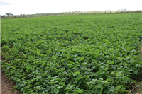 Kalima bean crop on residual soil moisture after rice